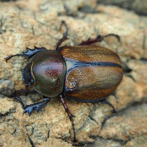 margaridae31