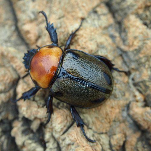 quadrimaculatus31