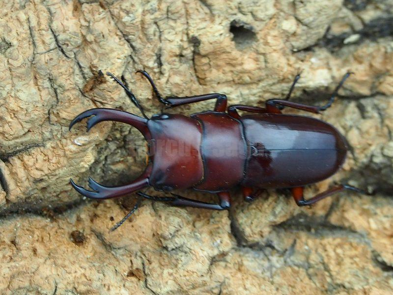 motuoensis33.5